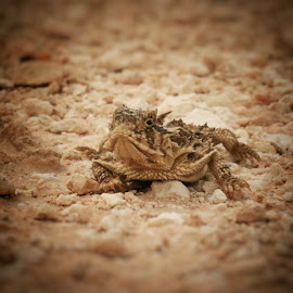 horny toad by Ashley Sharber - Animals Amphibians ( horns, texas, amphibian, endangered, wildlife, horned toad, horny toad )
