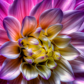 Swan Lake Dahlia by Rich Reynolds - Flowers Single Flower ( macro art, purple, art, dahlia, flower,  )