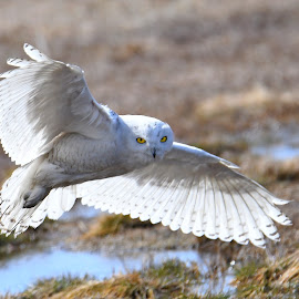 Snowy Owl in flight by Steven Liffmann - Animals Birds ( snowy owl )
