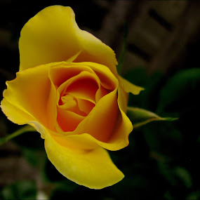 *** by Adriana Petcu - Nature Up Close Flowers - 2011-2013 ( rose, nature, yellow, garden, flower )