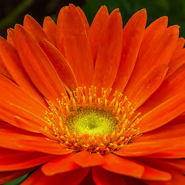 Orange Gerbera. by Keith Walmsley - Flowers Single Flower ( plant, wild, orange, nature, petals, yellow, natural, flower )
