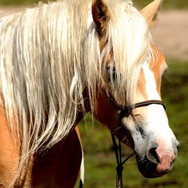 Horse by Bruno Brunetti - Animals Horses ( horse, norcia, italy, castelluccio, animal )