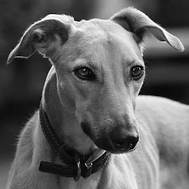 Mono Dog by Chrissie Barrow - Black & White Animals ( monochrome, smooth, black and white, pet, fur, ears, grey, dog, mono, nose, lurcher, portrait, eyes, animal )