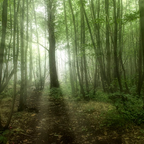 Enchanted by Becky Wheller - Landscapes Forests ( nature, trees, forest, landscape, rays )