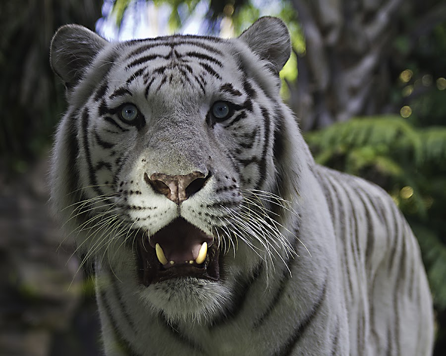 What ? by Ken  Frischkorn - Animals Lions, Tigers & Big Cats ( jungle., big cats, tiger, tigers, jungle cats )