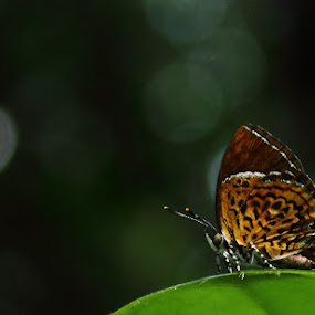 Butterfly by Kiran Krishna - Animals Insects & Spiders ( butterfly, beginning, nature, fly, land )