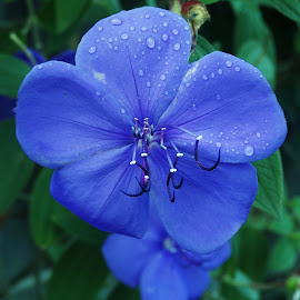 Blue Flower by Sarah Harding - Novices Only Flowers & Plants ( nature, blue, novices only, nature up close, flower )