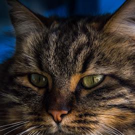 by Siniša Biljan - Animals - Cats Portraits