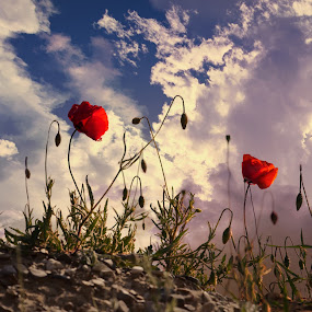 The Last Light by Mark Soetebier - Flowers Flowers in the Wild ( clouds, wildflowers, sky, pink floyd, wildflower, sunset, poppies, poppy, wild flowers,  )