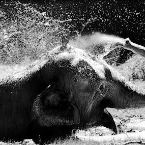 Daily shower ... by Ioan-Dan Petringel - Animals Other Mammals ( targu mures, zoo, elephant, shower, black&white )