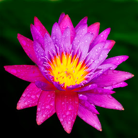 COLOURFULL LOTUS by Fadly Shaputra - Nature Up Close Flowers - 2011-2013