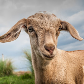 Yes, You by Ynon Francisco - Animals Other Mammals ( farm, domesticated, goat, philippines, rural, tarlac, kid )