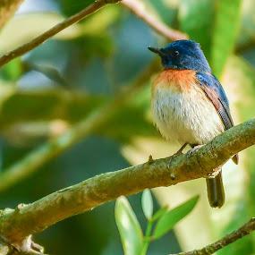 Blue-throated blue flycatcher by Maroof Rana - Animals Birds ( bird, tree, nature, green, wildlife, blue-throated blue flycatcher )