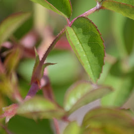 thorn by Sandy Lindley - Nature Up Close Leaves & Grasses ( nature, green, leaves )