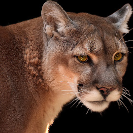 Mountain Lion by Shawn Thomas - Animals Lions, Tigers & Big Cats
