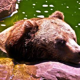 Bear Cooler by D.M. Russ - Animals Other ( water, bear, wildlife, d.m. russ,  )