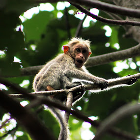 Oops He found me... by Gokul Rajenan - Animals Other Mammals ( tree, green, leaves, monkey )