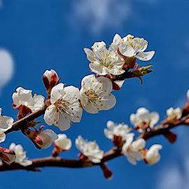 Первоцвет by Tarasij Zirob - Flowers Tree Blossoms ( zirob, korosten )