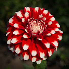 Red and White by Janet Marsh - Flowers Single Flower ( dahlia )