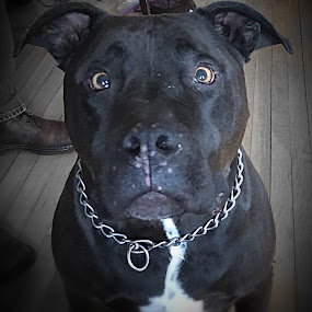 Rocco...🐾 by Diane Beique-Jacques - Animals - Dogs Portraits (  )