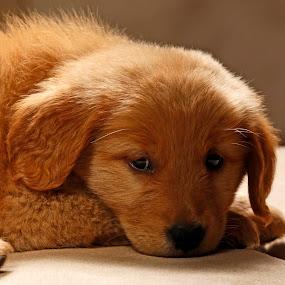 Beauty Golden Retriever by Cristobal Garciaferro Rubio - Animals - Dogs Puppies ( retriever, beauty, dog, golden, golden retriever )