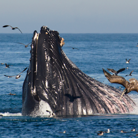 Bigmouth Strikes Again! by Helen Mathias - Animals Sea Creatures ( humpback, monterey, california, feeding, dive, brown pelican, bubble netting, usa, pelican, whales, humpback whale, lunge, whale, diving,  )