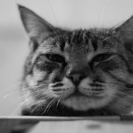 majestic  by Ndung Wilder - Animals - Cats Portraits ( potrait, cat, black and white, majestic, fat )