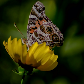 Can You See Me Now by Janice Mcgregor - Animals Other ( butterfly, detail, insect, posing, spring, looking, macro, sitting, nature, outdoors, summer, flower, outside,  )