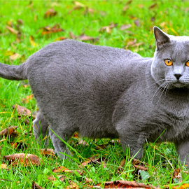 Hugo by Serge Ostrogradsky - Animals - Cats Portraits ( chartreux )