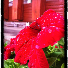 Red  by Cathryn Luna - Instagram & Mobile iPhone ( red, bloom, raindrops, garden, floral )