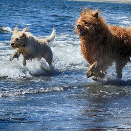 by Brenda Baird - Animals - Dogs Running (  )