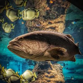 Big Fish by Adam Lang - Animals Fish ( fish tank, water, zoo, fish, aquarium )