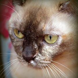 Tilly by Caroline Beaumont - Animals - Cats Portraits ( tortie burmese cat )