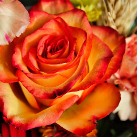 Orange Rose by Bruce Newman - Flowers Flower Arangements ( rose, natural colors, vivid orange, flower photography,  )