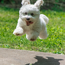 High Flying Coton de Tulear by Jennifer McWhirt - Animals - Dogs Running ( animals, puppies, dogs, jumping, action, white dog, coton de tulear, agility )