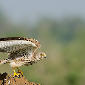 Common Kestrel by Srikanth Iyengar - Animals Birds