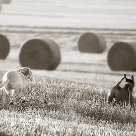 Running Fields 3 by Ian Taylor - Animals - Dogs Running ( two, dogs, crops, mono, fields )