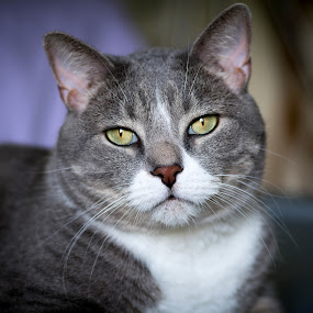 Eli by Glen Sande - Animals - Cats Portraits ( cats, animal portrait, animals, pets, pentax fa 77mm limited, pentax k1,  )