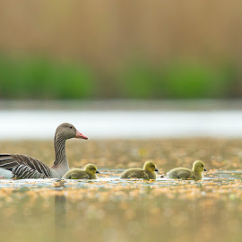 Family Time by Peter Grutter - Animals Birds ( gosling, nature, switzerland, geese, birds )