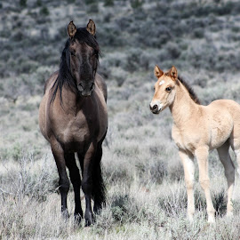Kiger Mustangs by Kathy Tellechea - Animals Horses ( mare, mustang, oregon, high desert, kiger, wild horses, foal )