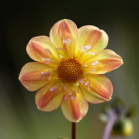 Dahlia 9426 by Raphael RaCcoon - Flowers Single Flower ( dahlia )