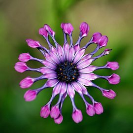 African Daisy by Michael Schwartz - Flowers Single Flower (  )