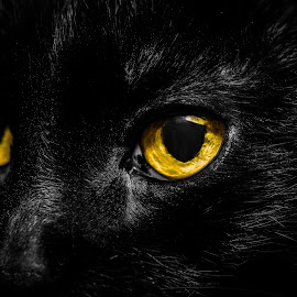 Black Cat by Becky Adolf - Animals - Cats Portraits ( face, cat, rescue, yellow eyes, black cat, eyes,  )