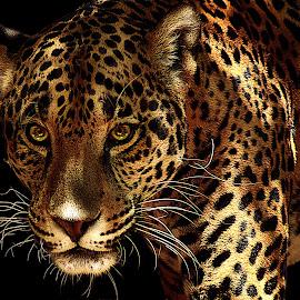 Jag X by Shawn Thomas - Animals Lions, Tigers & Big Cats