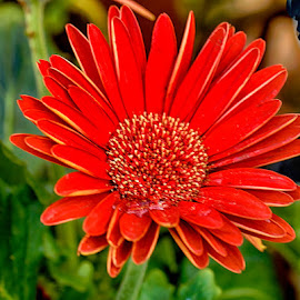 Red flower by Radu Eftimie - Flowers Single Flower ( red, flower )