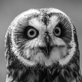 Short eared Owl by Garry Chisholm - Black & White Animals ( bird, garry chisholm, nature, black and white, owl, wildlife, prey, short eared )
