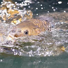Mr. Carp by Mike Craig - Animals Fish