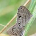 Carolina Satyrs (mating)