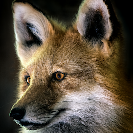 Red Fox by Bill Kenny - Animals Other ( wild, fox, red, low key, animal )