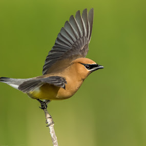Cedar Waxwing by Tom Samuelson - Animals Birds